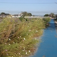 旧草津川堤防のコスモス