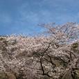 満開の海津の桜