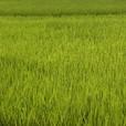 ライトグリーンの田んぼ
