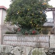 石垣と柑子の木