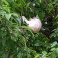 モリアオガエルの卵の泡の塊