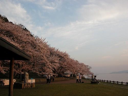 海津大崎の桜 夕景