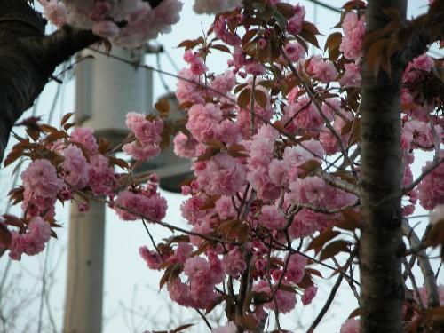 ゴージャス八重桜姉妹、妹