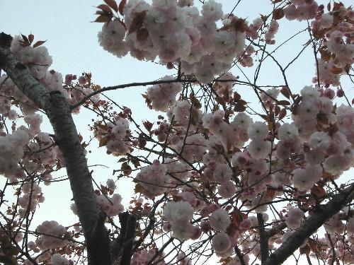 ゴージャス八重桜姉妹、姉