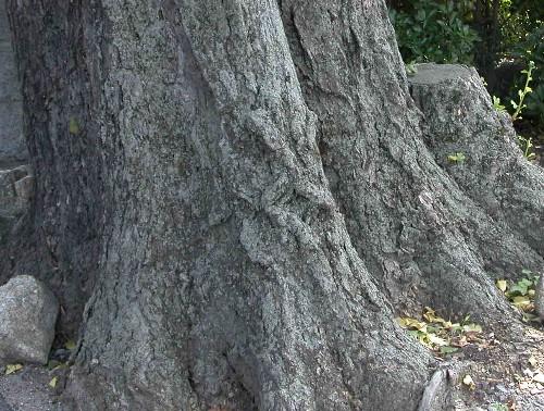 イチョウの根と芽