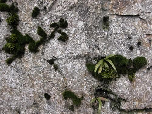 石に苔とシノブ