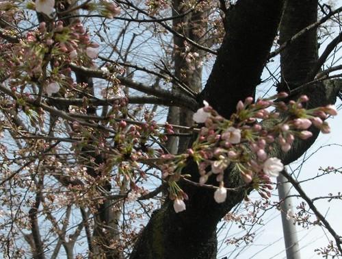 膳所付近の桜