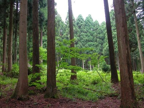杉の木立の間に緑