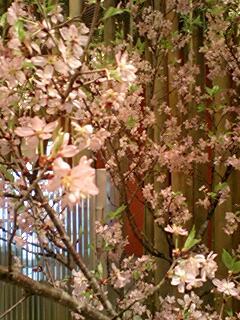 桜咲いてた
