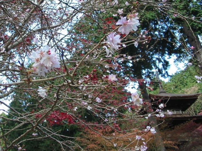 2006126kongo3sakura