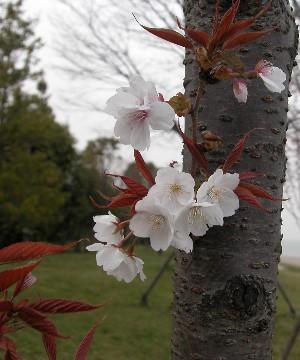 2006418sakurasiro