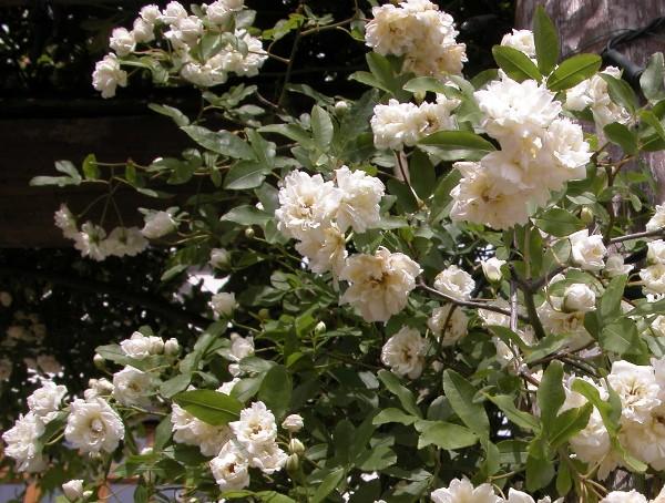 2006511achibara