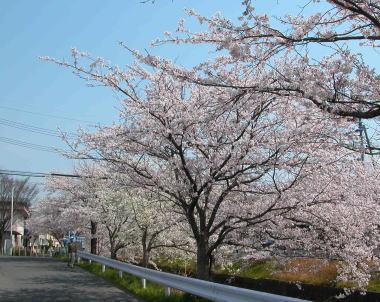 200846sakura2