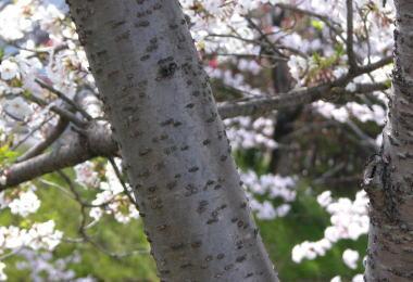 200846sakura3