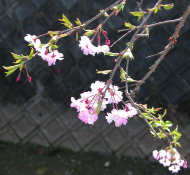 200846sakura6sidare