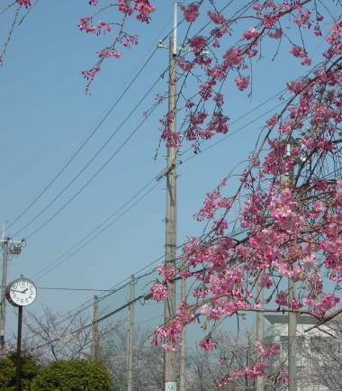 200846sakura8sidare