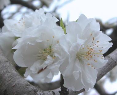 2009322osakura1