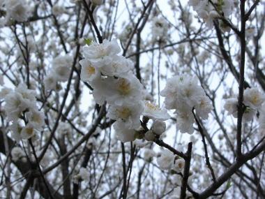 2009322osakura2
