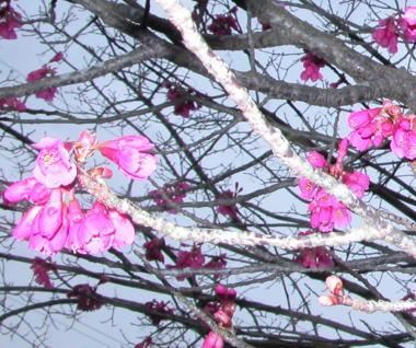 2009322ohikanzakura2