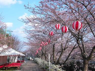 200942sakura4namiki