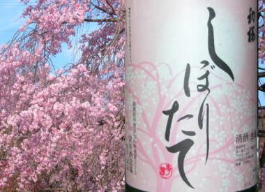 2009426hatsusakura5