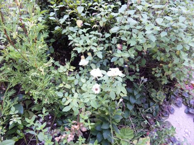 ミニバラのある花壇