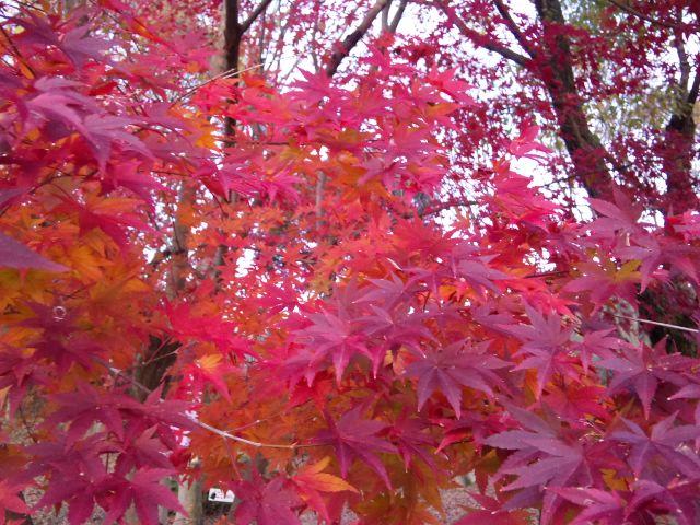 近江富士花緑公園の紅葉