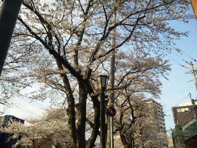 大津市川口公園の桜