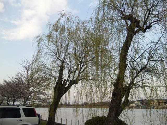 瀬田の唐橋の柳と桜