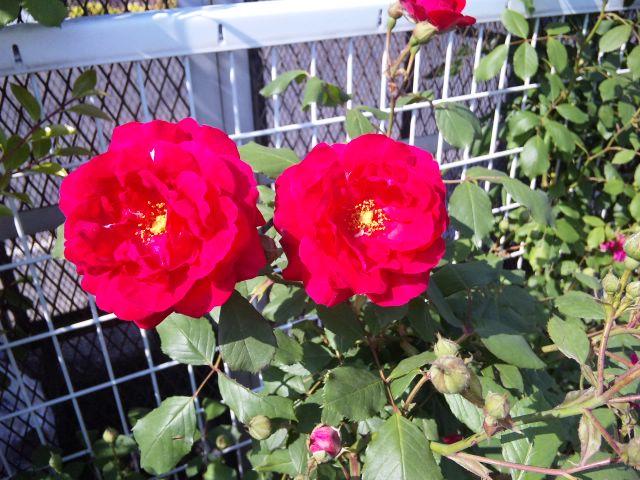 今日のバラ