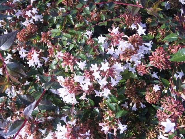 アベリア花盛り