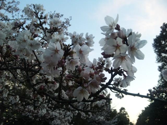 サクラ咲け