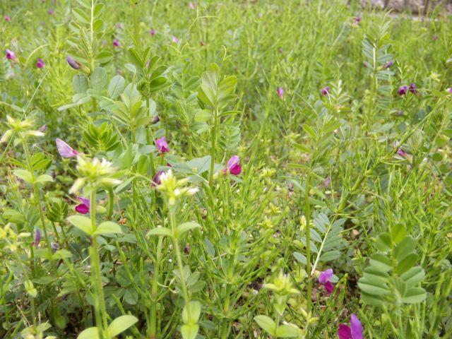 菫と烏の豌豆
