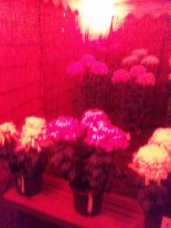 夜の菊花展
