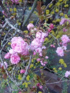 八重桜とホトケノザ