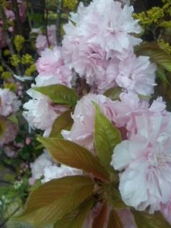 桜、パンジー、チューリップ