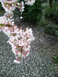 散りそめ桜