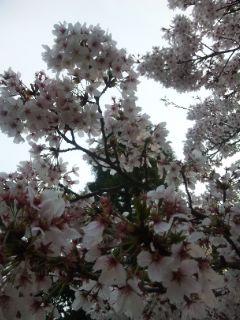 朝市の日の桜