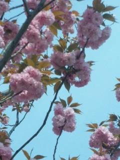 八重桜の春