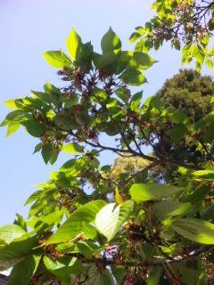 今日の桜と