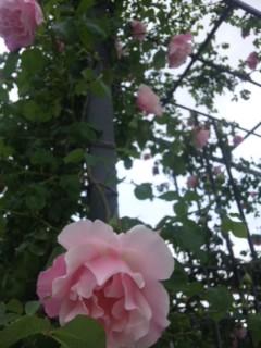 中之島の薔薇