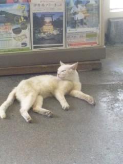 近江長岡駅長気分の猫