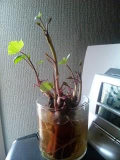 サツマイモで室内観賞植物