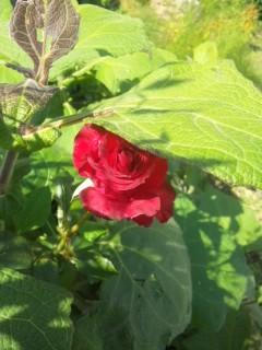 赤いバラが咲いていた