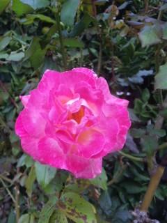秋のバラ 一輪