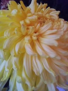 ご近所さんの菊花展