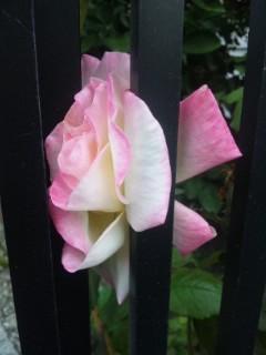 囚われのバラ