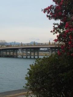 サザンカと瀬田の唐橋