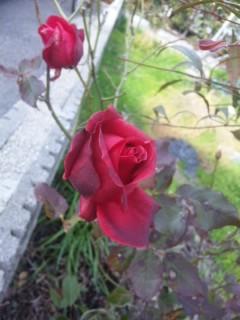 冬のバラ再び