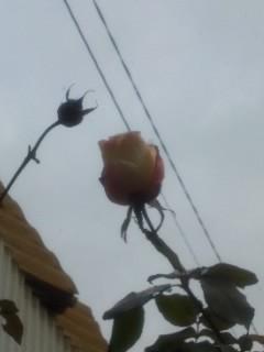 雪の日、バラのつぼみ